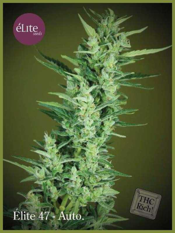 Semilla de Marihuana Élite 47 Autofloreciente del banco Elite Seeds