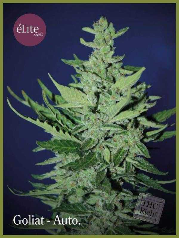 Semilla de Marihuana Goliat Autofloreciente del banco Elite Seeds