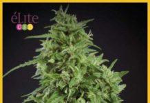 Semilla de Marihuana Amnesia Haze Ultra CBD del banco Elite Seeds