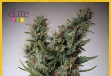 Semilla de Marihuana Jack Ultra CBD del banco Elite Seeds