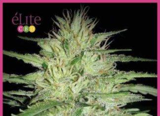Semilla de Marihuana Juanita La Lagrimosa del banco Elite Seeds
