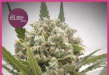 Semilla de Marihuana La Katana del banco Elite Seeds