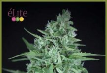 Semilla de Marihuana La Rica Auto CBD del banco Elite Seeds