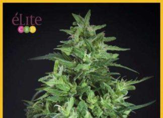 Semilla de Marihuana Llimonet Haze Ultra CBD del banco Elite Seeds