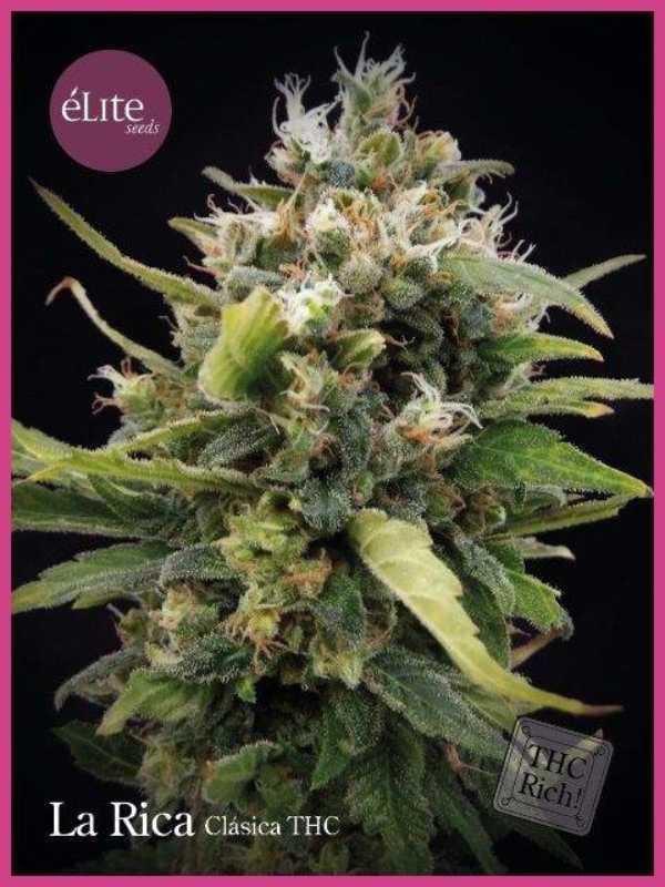 Semilla de Marihuana Rica Clásica THC del banco Elite Seeds