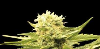 Semilla de Marihuana Black Dream del banco Eva Female Seeds