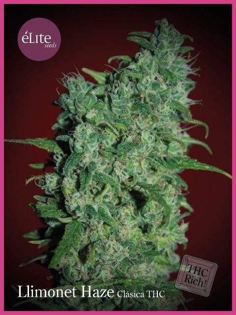 Semilla de Marihuana Llimonet Haze Clásica THC del banco Elite Seeds
