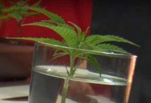 Esquejes de Variedades de Marihuana Autoflorecientes