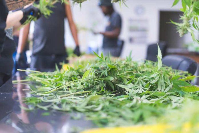 Propiedades Terapéuticas de la Marihuana rica en CBD