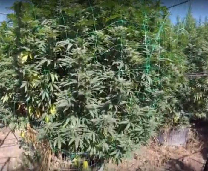 Plantas de Marihuana Gigantes - Cómo tener Plantas de Marihuana Gigantes