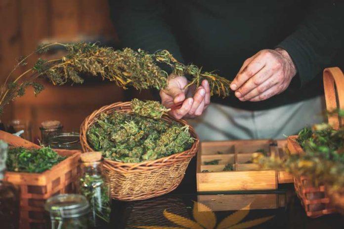 Cuándo y Cómo Cosechar Plantas de Marihuana