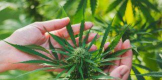 Razones para Cultivar Marihuana al Aire Libre