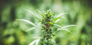Marihuana para Mejorar Nuestra Salud