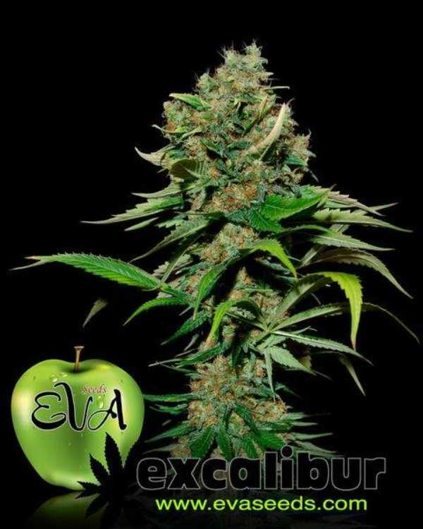 Semilla de Marihuana Excalibur del banco Eva Female Seeds
