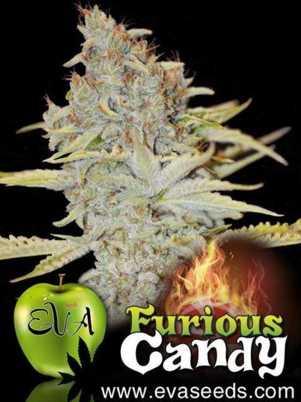 Semilla de Marihuana Furious Candy del banco Eva Female Seeds