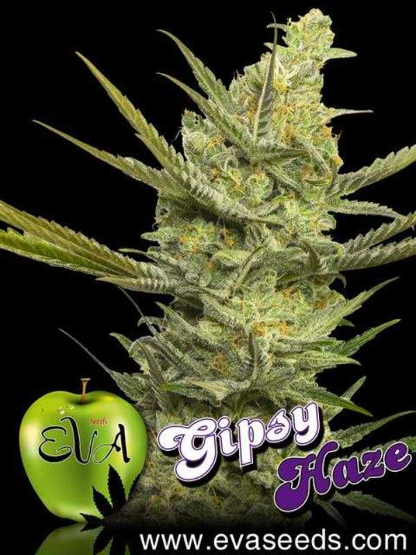 Semilla de Marihuana Gipsy Haze del banco Eva Female Seeds