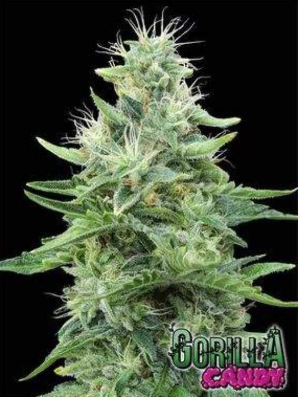 Semilla de Marihuana Gorilla Candy del banco Eva Female Seeds
