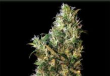 Semilla de Marihuana High Level del banco Eva Female Seeds