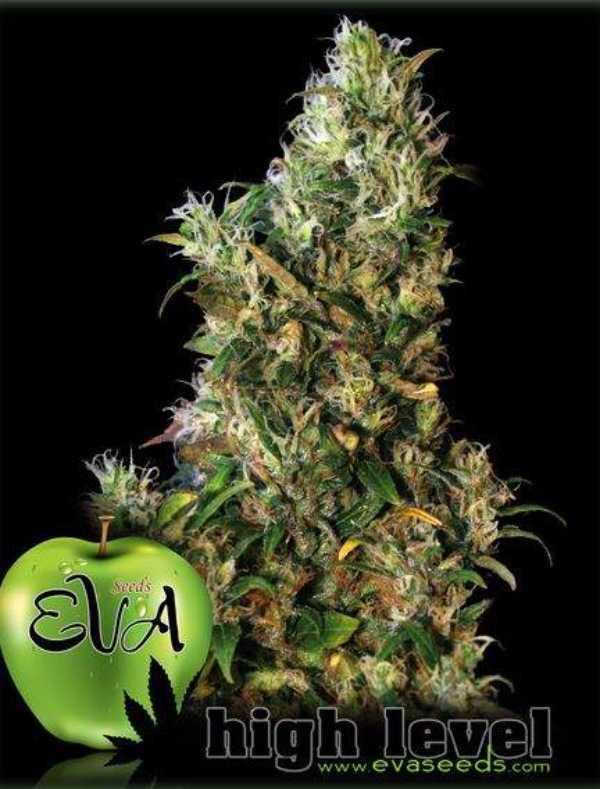 Semilla de Marihuana High Level del banco Eva Female Seeds