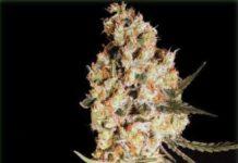 Semilla de Marihuana Jamaican Dream del banco Eva Female Seeds