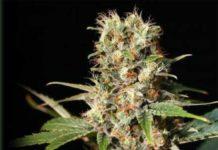 Semilla de Marihuana Missing del banco Eva Female Seeds