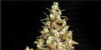 Semilla de Marihuana Monster del banco Eva Female Seeds