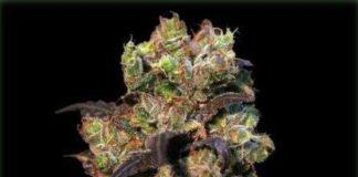 Semilla de Marihuana Pink Plant del banco Eva Female Seeds