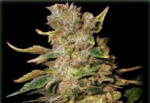 Semilla de Marihuana TNT Kush del banco Eva Female Seeds
