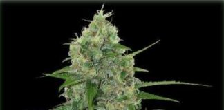 Semilla de Marihuana Veneno del banco Eva Female Seeds