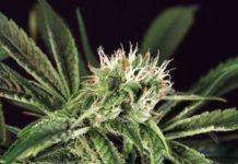 Semilla de Marihuana Amnesia#7 del banco Eva Female Seeds