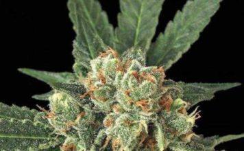 Semilla de Marihuana Blue Monkey del banco Exotic Seed