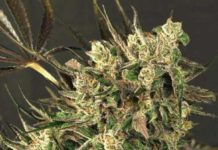 Semilla de Marihuana Exotic Colours del banco Exotic Seed
