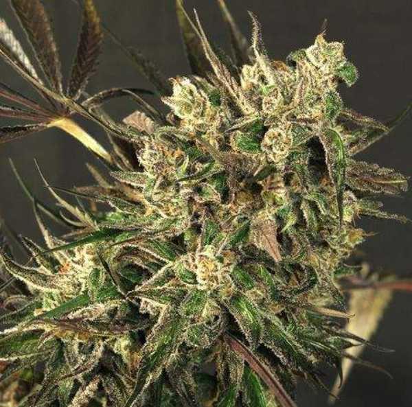 Semilla de Marihuana Exotic Colours del banco Exotic Seed