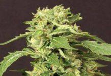 Semilla de Marihuana Exotic Thai del banco Exotic Seed