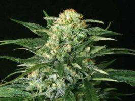 Semilla de Marihuana Gipsy Widow del banco Exotic Seed