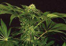Semilla de Marihuana Green Gummy del banco Exotic Seed