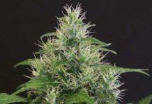 Semilla de Marihuana Lemon Candy del banco Exotic Seed