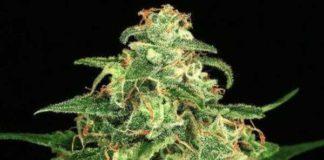 Semilla de Marihuana Mango Cream del banco Exotic Seed