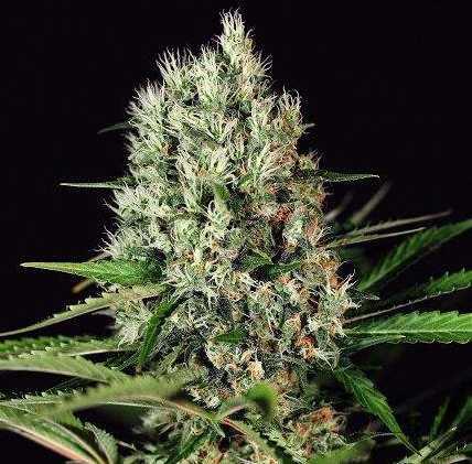 Semilla de Marihuana Quick Mass del banco Exotic Seed