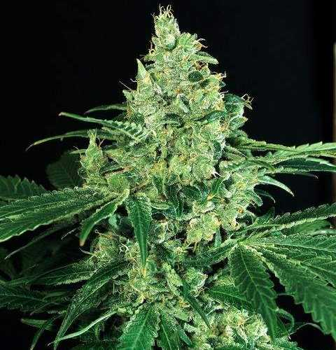 Semilla de Marihuana Sir Jack del banco Exotic Seed
