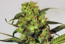 Semilla de Marihuana Spicy Bitch del banco Exotic Seed