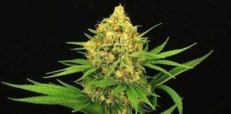 Semilla de Marihuana Tangerine Kush del banco Exotic Seed