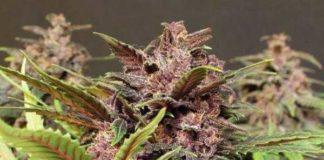 Semilla de Marihuana Black Haze Auto del banco Exotic Seed