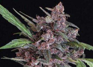 Semilla de Marihuana Black Lemon Auto del banco Exotic Seed
