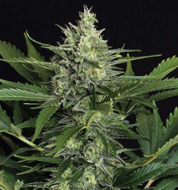 Semilla de Marihuana Green Gummy Auto del banco Exotic Seed
