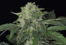 Semilla de Marihuana Jungle Fever Auto del banco Exotic Seed