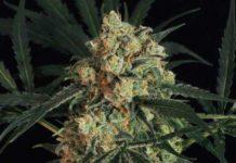 Semilla de Marihuana Triple A Auto del banco Exotic Seed