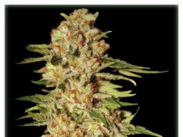 Semilla de Marihuana Papa's Candy del banco Eva Female Seeds