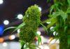 Consejos para Cultivar Plantas de Marihuana Autoflorecientes