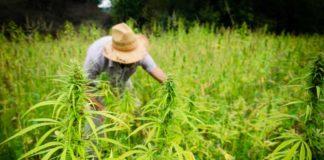 Pesticidas en los Cultivos de Cáñamo Industrial